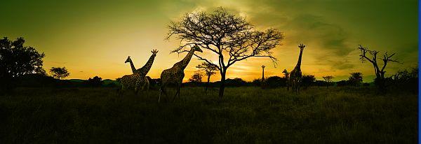 Afrique du Sud - girafes sur coucher de soleil