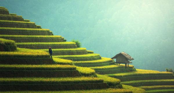 agriculture - riz - thailande