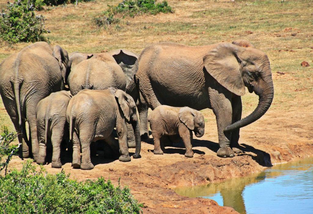 éléphants - Parc Kruger - Afrique du Sud - Circuit