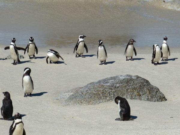 pingouins - peninsule - cap