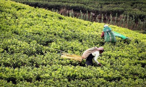 récolte du thé - sri lanka - circuit